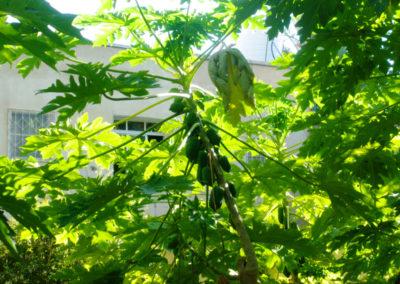 oman-misfat-al-abriyyin-rundfahrt-papaya