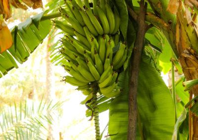 oman-misfat-al-abriyyin-rundreise-palme-banane