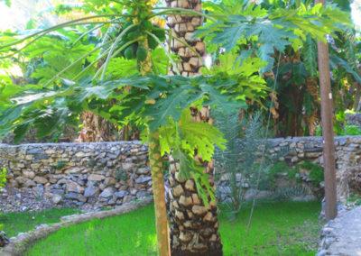 oman-misfat-al-abriyyin-rundreise-papaya-feld