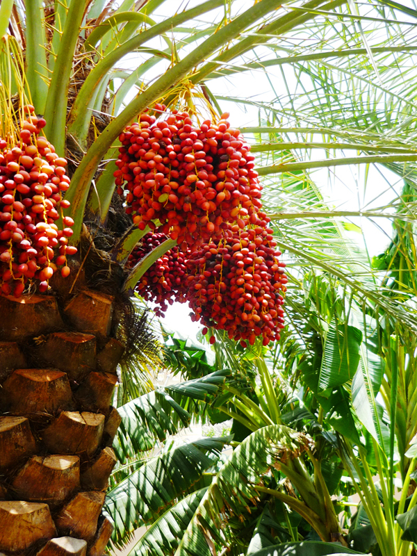 oman-misfat-al-abriyyin-urlaub-datteln-palme