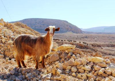 oman-salmah-plateau-offroad-ziege-hochebene-ausflug