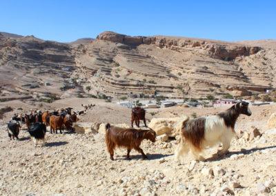oman-salmah-plateau-ziegen-tiere-reise