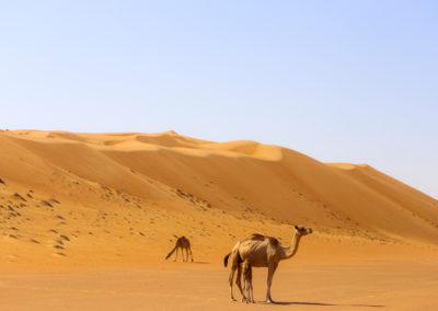 oman-sharqiyah-sands-wueste-atmosphaere-kamele-rundreise