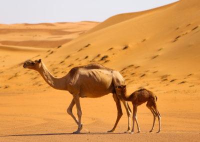 oman-sharqiyah-sands-wueste-kamele-dromedare-tour