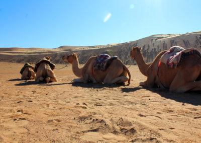 oman-sharqiyah-sands-wueste-wahiba-kamele