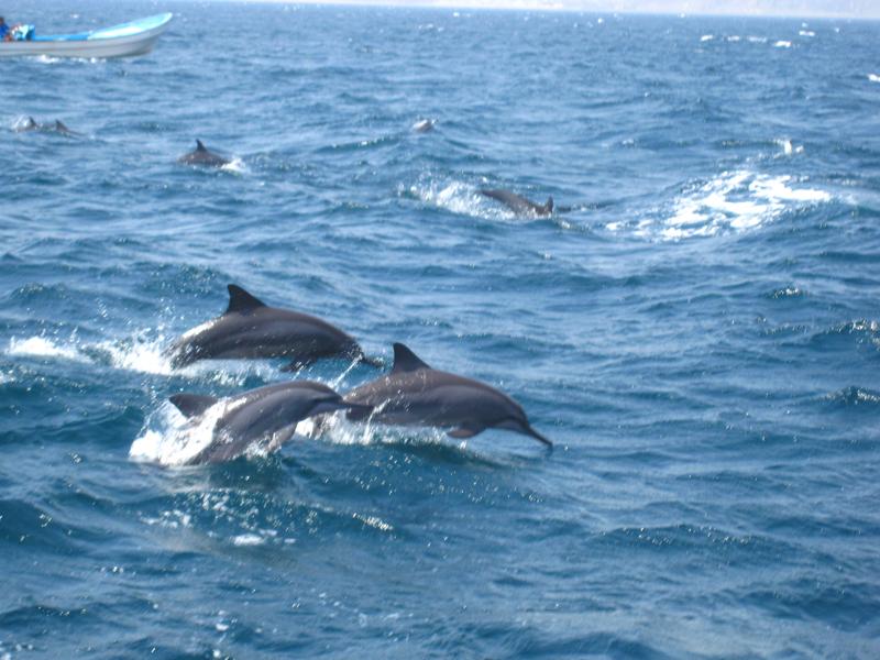 oman-tiere-delfine-nah