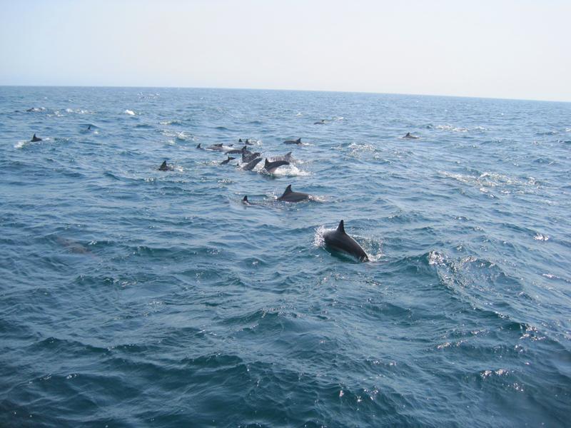 oman-tiere-delfine-rudel
