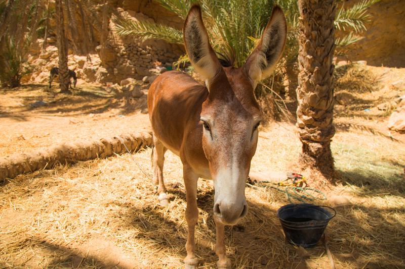 oman-tiere-esel-wadi-shab