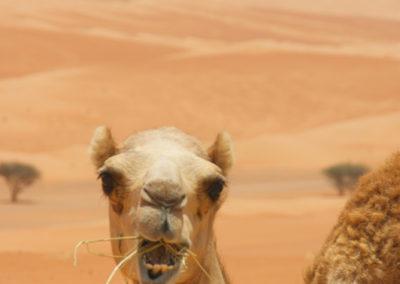 oman-tiere-kamel-essen