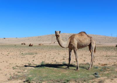 oman-tiere-kamel-hochebene