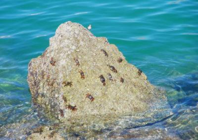 oman-tiere-krabben
